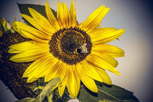 Sunflower, Blossom, Bloom, Close Up, Yellow, Helianthus