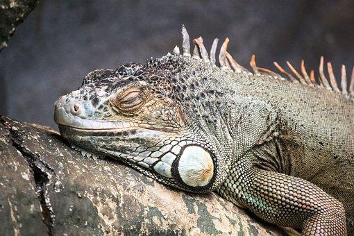 Iguana, Reptile, Lizard, Wildlife, Animal, Wild, Nature