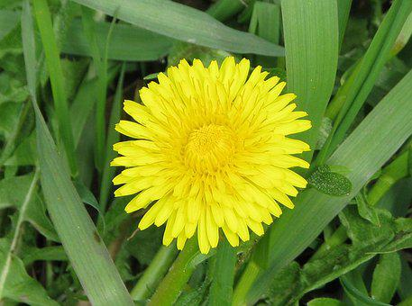Common Dandelion, Taraxacum Officinale, Lawn Weed