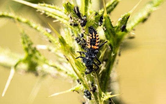 Marienkäfer Larva, Larva, Ladybug, Beetle, Nature