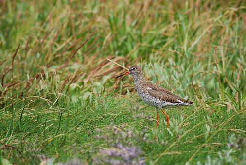 Redshank, Snipe, Bird, Birds, North Sea, Jade, Animal