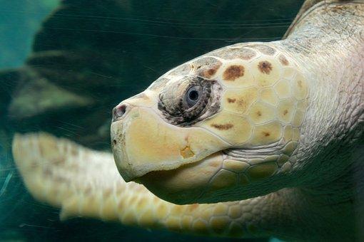 Turtle, Ocean, Nature, Tropical, Water, Marine, Reptile