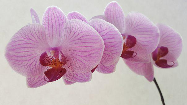 Orchid, Phalaenopsis, Flower, Blossoms, Pink Flower