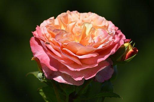 Roses, Pink, Romantic, Flower, Splendor, Blossom, Bloom