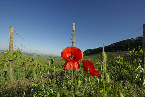 Poppy, Vineyard, Sky, Blue Sky, Partly Cloudy, Red