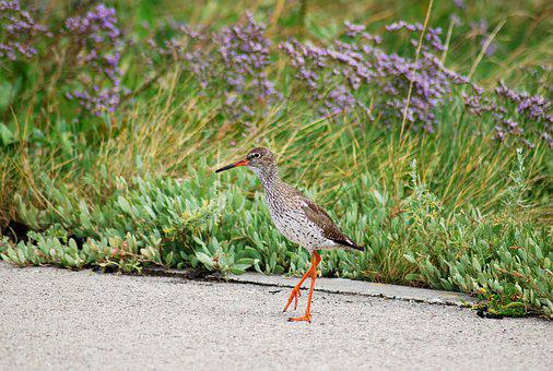 Bird, Birds, Redshank, Snipe Animal, Close, Wild Animal
