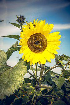 Sun Flower, Blossom, Bloom, Close, Yellow, Helianthus