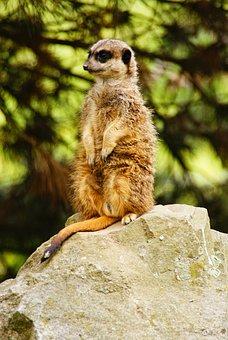 Surykatka, Animal, Zoological Garden, Meerkats, Pet
