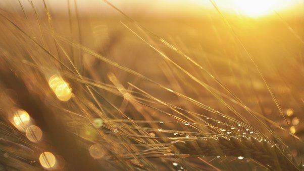 Barley, Corn, Rosa, Sunset, Village, The Cultivation Of