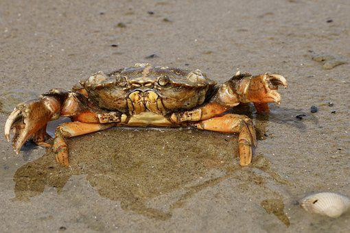 Cancer, Crab, Shellfish, Beach, Pliers, Public Record