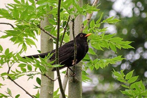 Blackbird, Throttle, Black Plumage, True, Black, Bird