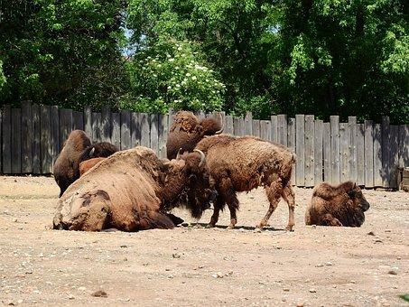 Bison, Bison Bison, North American Fauna, Herd