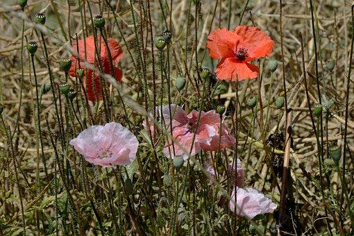 Klatschmohn, Poppy Flower, Wild Flower, Blossom, Bloom