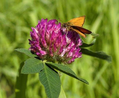 Klee, Blossom, Bloom, Purple, Nature, Pointed Flower