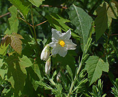 Nightshade Flowers With Buds, Blossom, Bloom, Flower