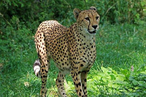 Cheetah, Predator, Africa, Nature, Cat, Wild Animal