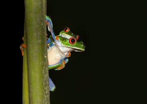 Frog, Red-eyed Tree Frog, Costa Rica, Tropics