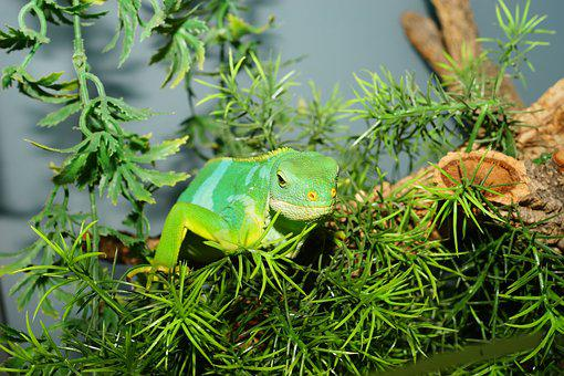 Reptile, Fiji Iguana, Lizard, Nature, Green, Iguana