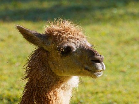 Lama, Animal, Inca, Alpaca, Peru, Camelid, Wild, Head