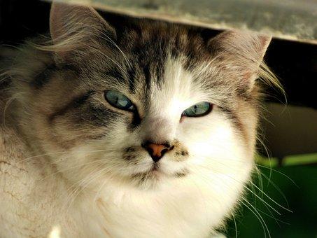 Cat, Kitty, Glare, Stare, Feline, Pet, Face, Look, Fur