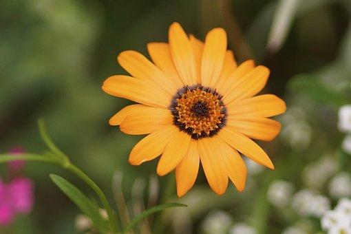 Marguerite, Orange, Blossom, Bloom, Flower, Nature