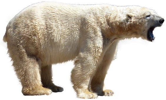 Polar Bear, Isolated, Predator, Animal, Nature