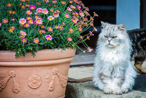 Cat, Persian Cat, Pet, Breed Cat, Domestic Cat