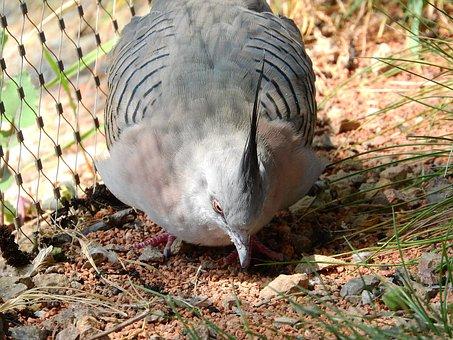 Pigeon Crested, Ocyphaps Lophotes, Australian Pigeon