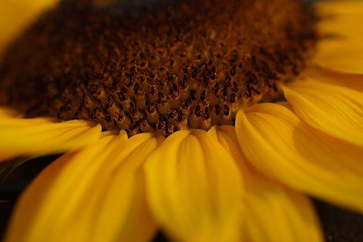 Sunflower, Yellow, Close Up, Plant, Enlarge View
