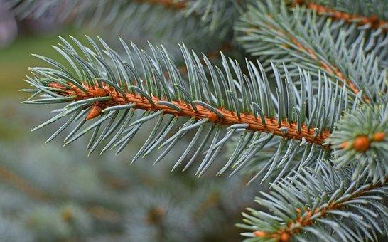 Rain-wet Blue Spruce, Cones Forming, Rain-wet, Rain