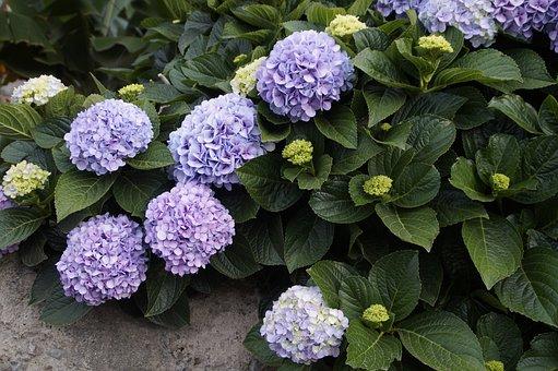 Snow Ball, Plant, Purple, Blossom, Bloom, Bush, Bloom