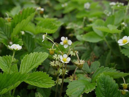 Wild Strawberry, Garden Berries, The Strawberries