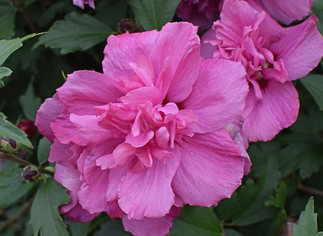 Rose Of Sharon, Flower, Blossom, Bloom, Tree, Nature