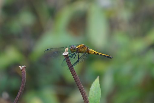 Dragonfly, Anisoptera, Yellow, Maule, Chile, Insects