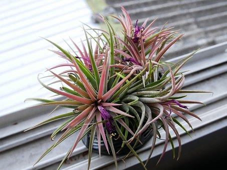 Bromeliad, Aechmea Fasciata, Thailand
