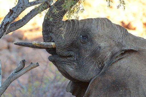 Elephant, Young Elephant, Baby Elephant, Africa