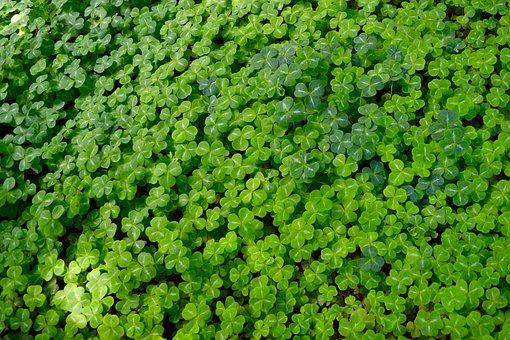 Clover, Good Luck, Background, Green, Lucky, Fresh