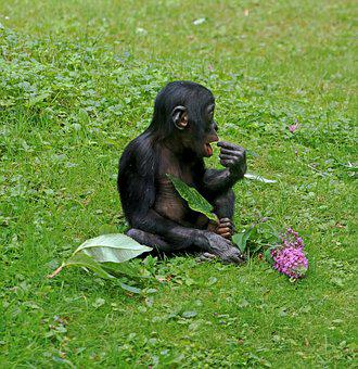Bonobos, Ape, Primates, Animal, Wildlife Photography