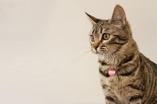 Bengal, Cat, Pets, Baby Cats, Animal, Cat Photo