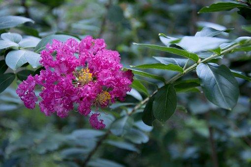 Dark Pink Crepe Myrtle, Garden, Myrtle, Blossom, Crepe