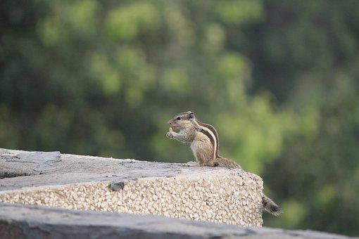 Three-striped Palm Squirrel, Eating, Outdoor, Rodent