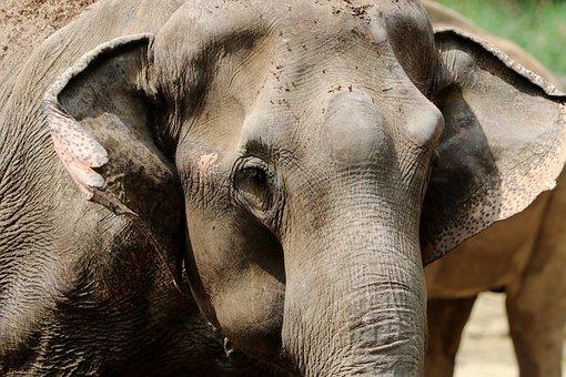 Elephant, African Bush Elephant, Africa, Safari