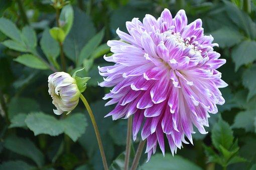 Flowers Of Massive, Dahlia, Button, Summer, Plants
