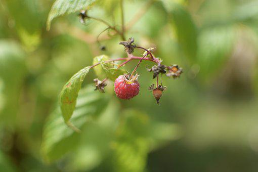 Raspberry, Fruit, Red Fruit, Red, Food, Vitamins, Power