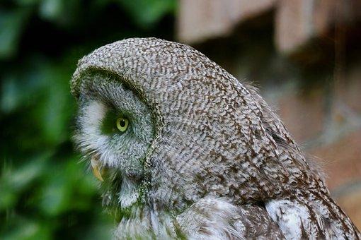 Owl, Waldeule, Wild Animal, Forest Dwellers, Nature