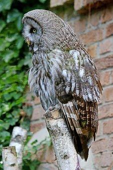 Owl, Waldeule, Bird, Forest, Wild Animal