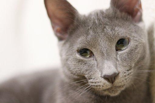 Cat, Russian Blue, Kitty, Kitten, Soft, Gray, Sleepy