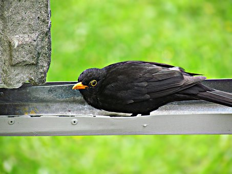 Kos, Bird, Birds, Yellow Beak, Black Bird, Nature