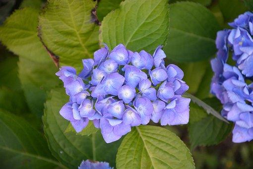 Hydrangea, Flowers, Petals, Blue, Brittany, Nature