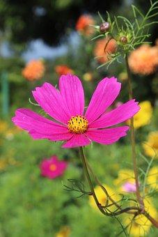 Anemone, Flower, Purple Violet, Bloom, Flowers, Pink